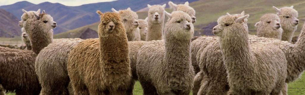 banner met alpaca's