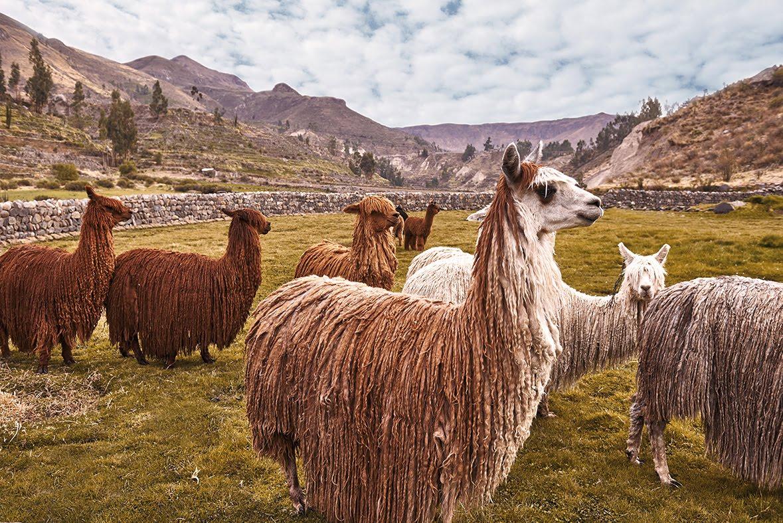 Suri alpaca's peru Andes gebergte